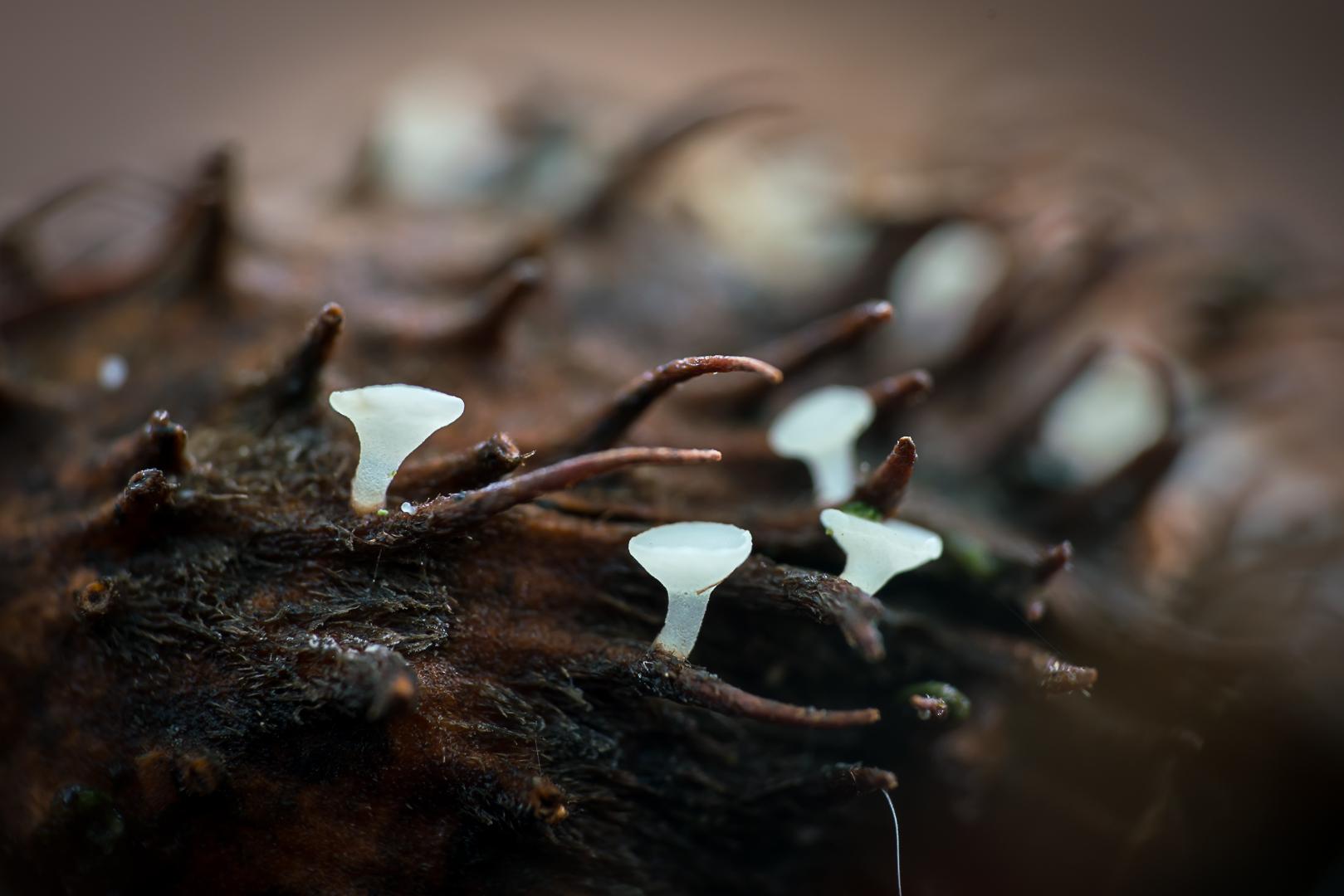 Hymenoscyphus fagineus - Beukennapvlieskelkje (2)