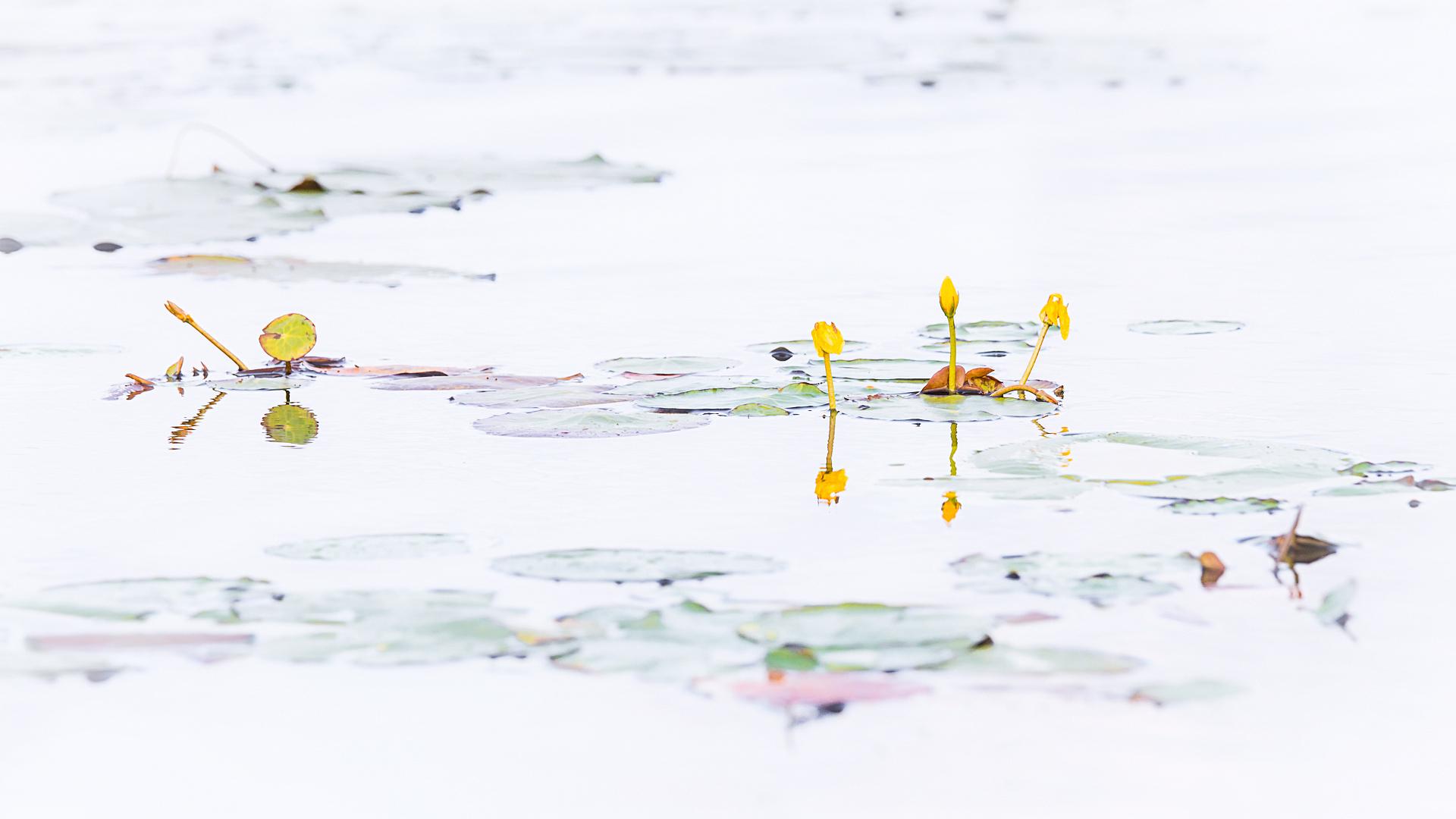 Nuphar lutea, Gele plomp, Loes Belovics, Deel de Natuur