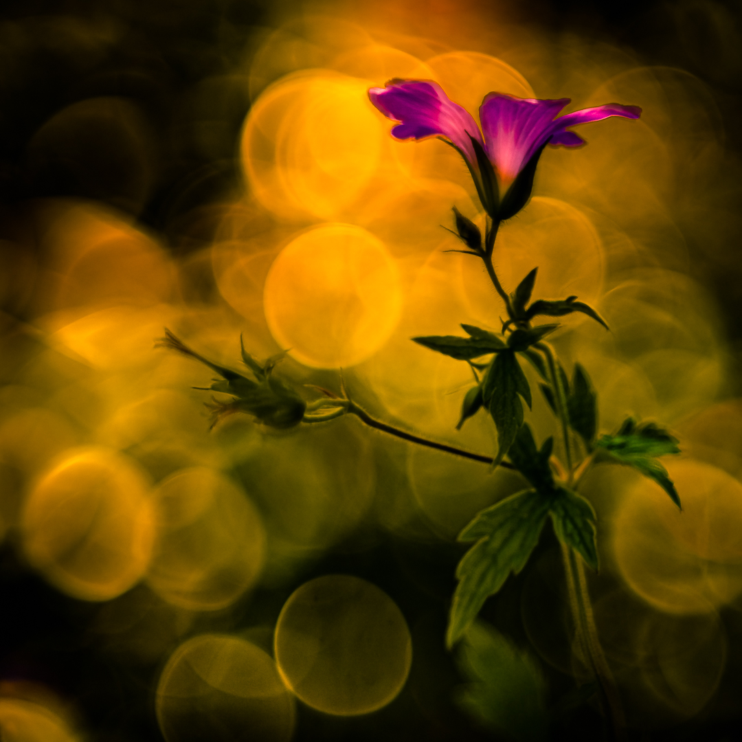 The golden sky with purple flower...