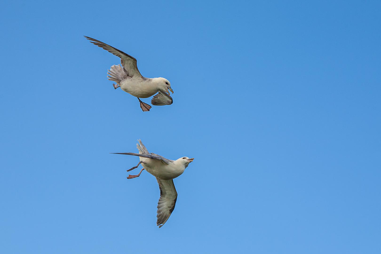 002 Noordse stormvogels 05-06-2009 B_V_1620
