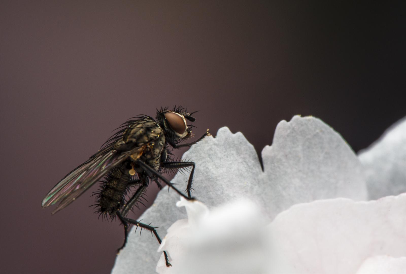 tiff-0153-vllieg - Anthomyiidae sp