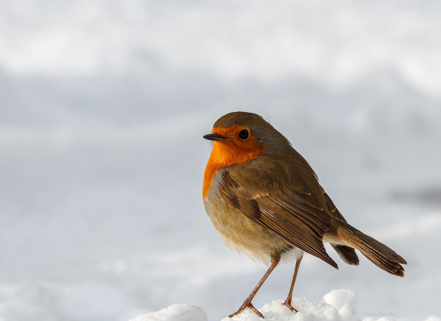 Roodborstje in de sneeuw-0131