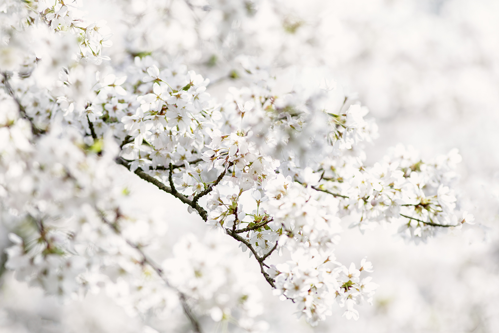 9313 Japanse Kersenbloesem 2019-03-30 Bw-nv 1620