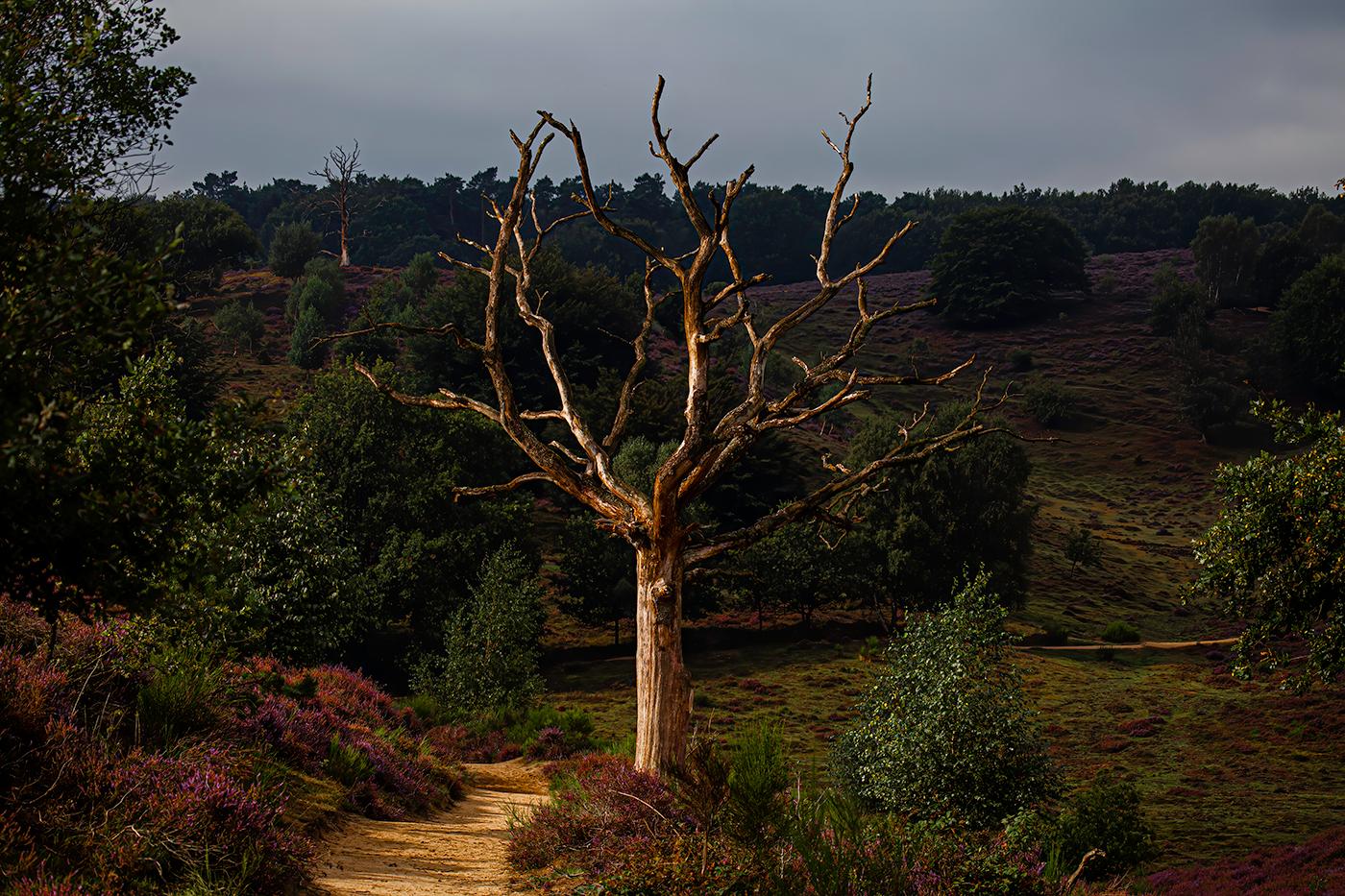 Dode boom tussen hei in bloei