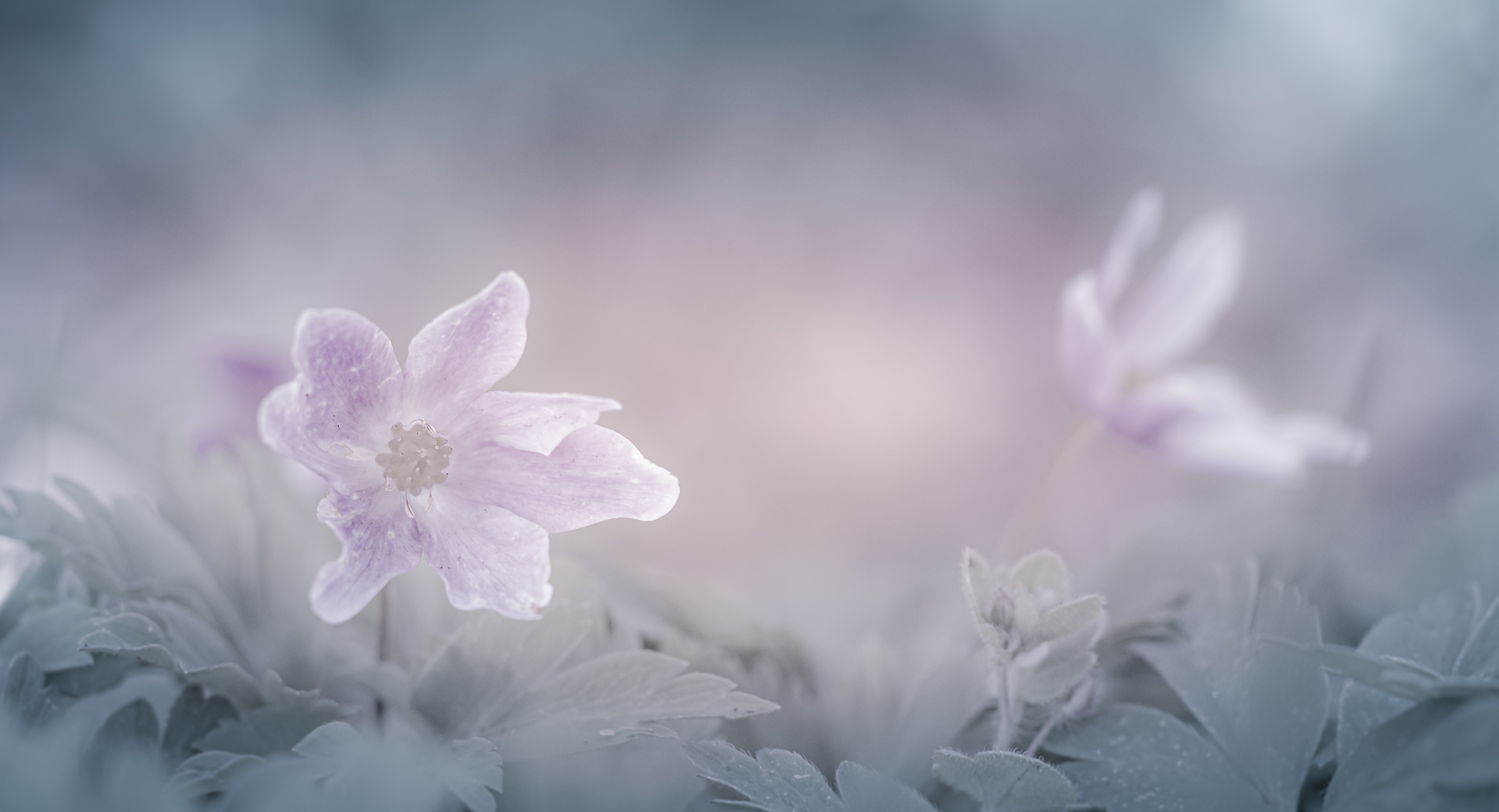 The dreamy flower of spring ....