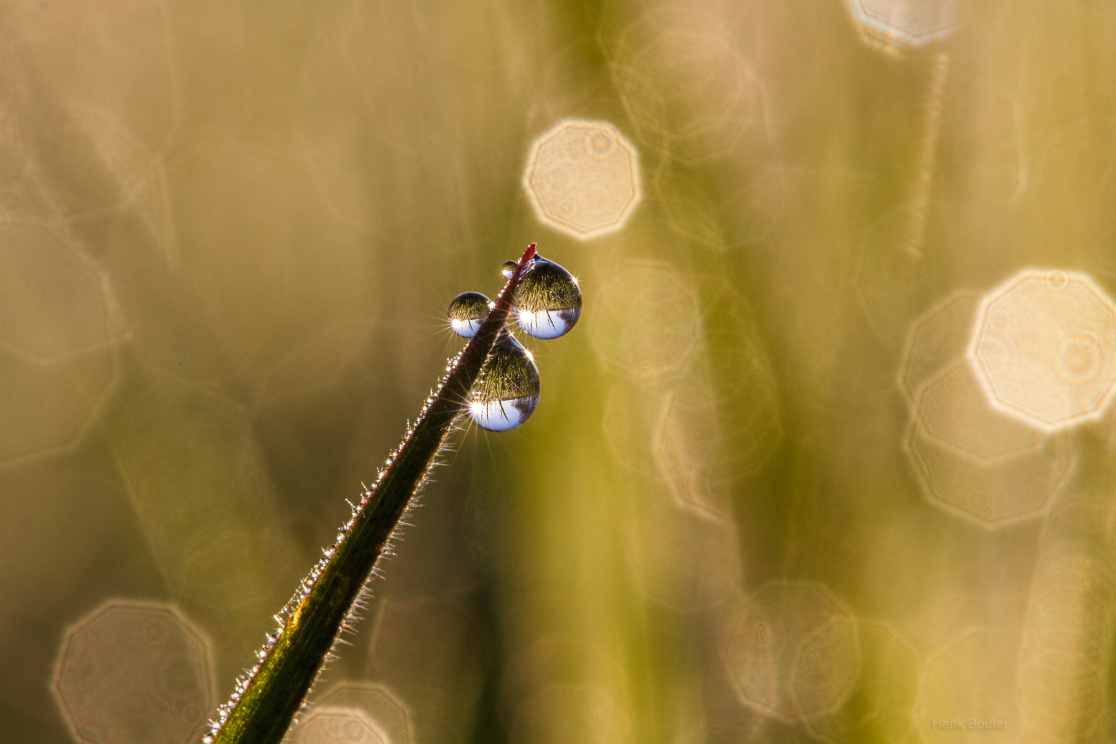 Dauwdruppels aan grasspriet-1031