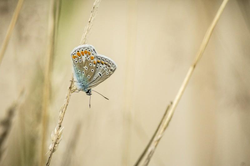 Icarusblauwtje tussen de gedroogde grasstengels.