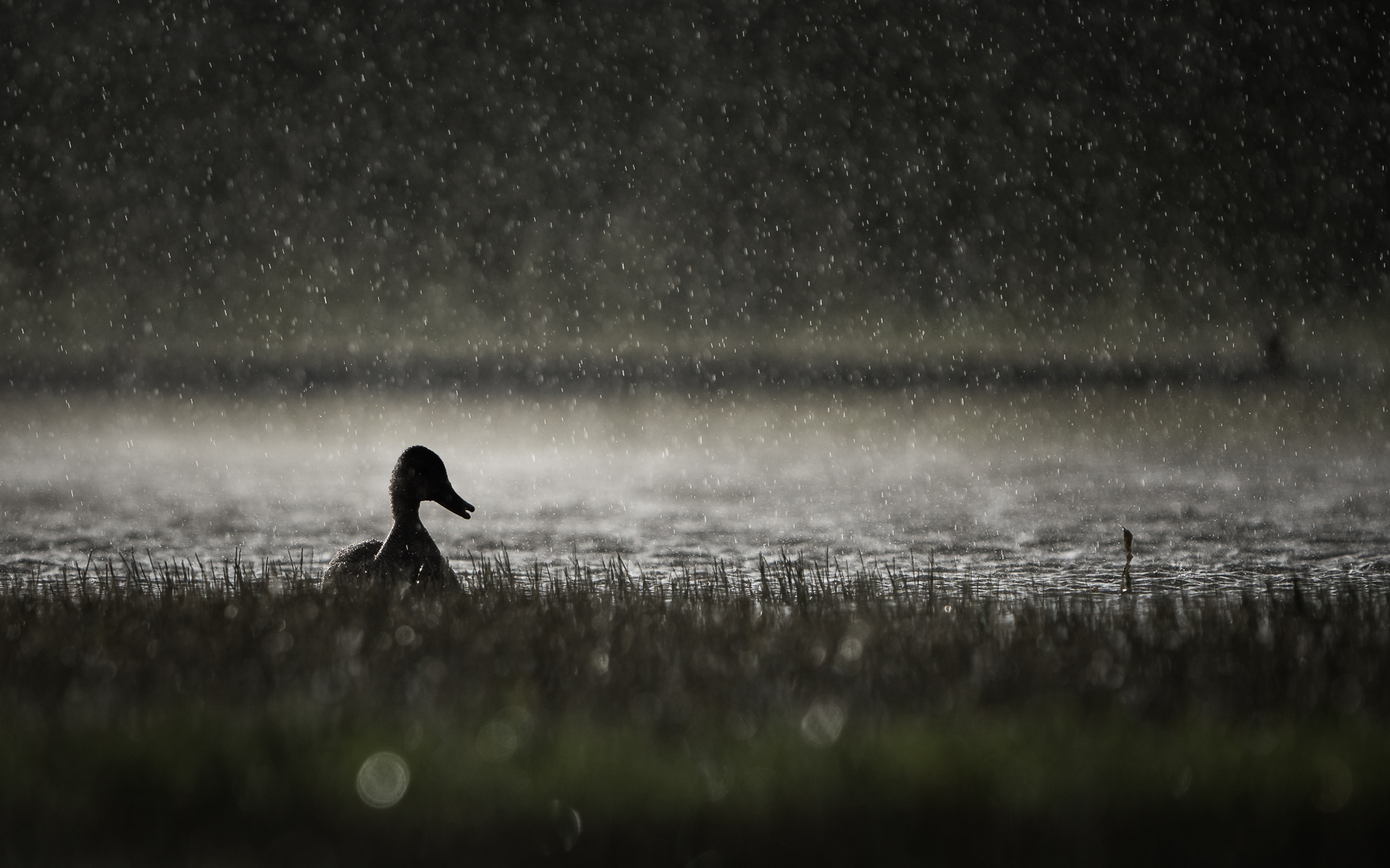 Krakeend in regenbui