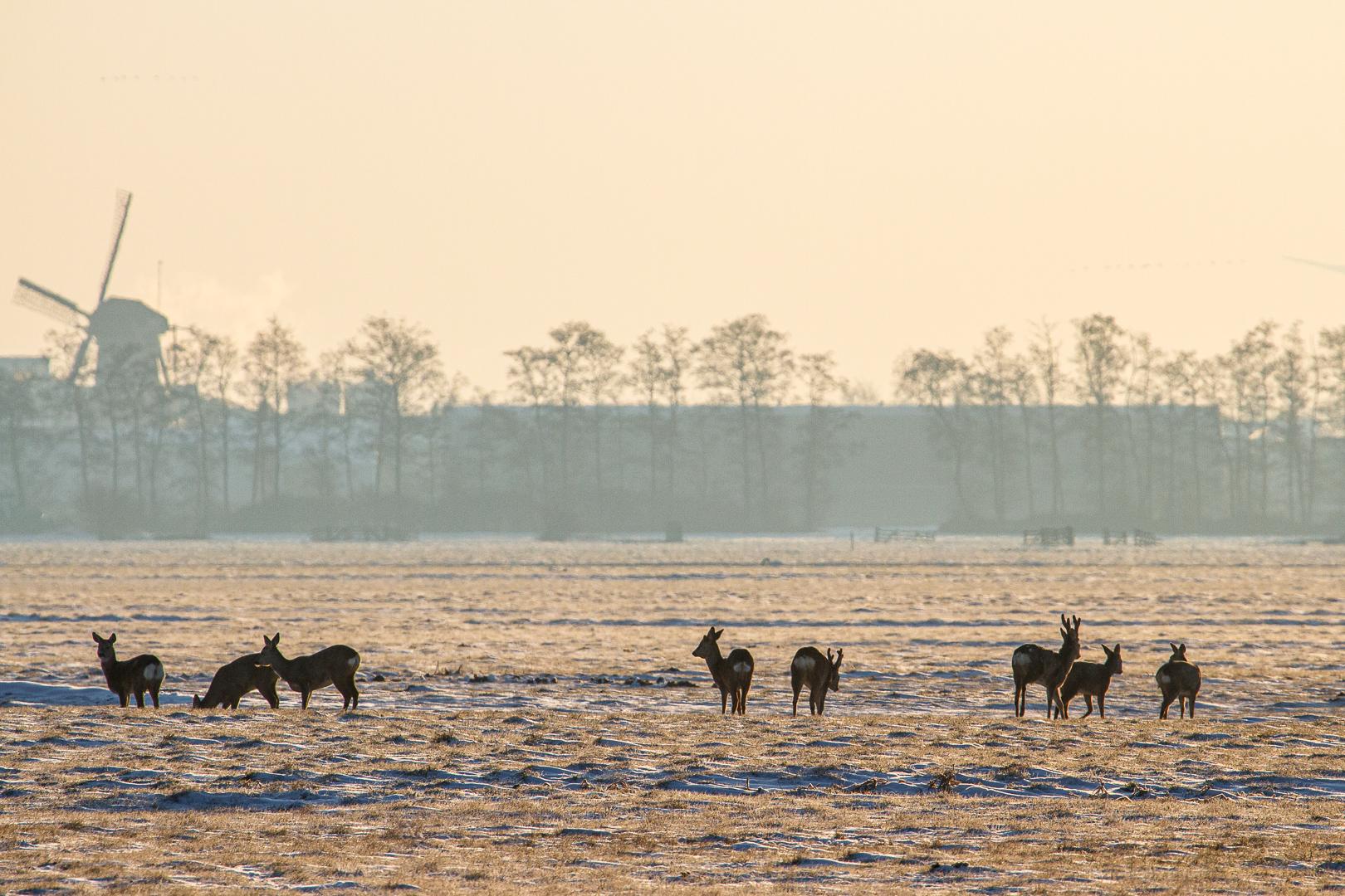 Reeën in de polder-0223