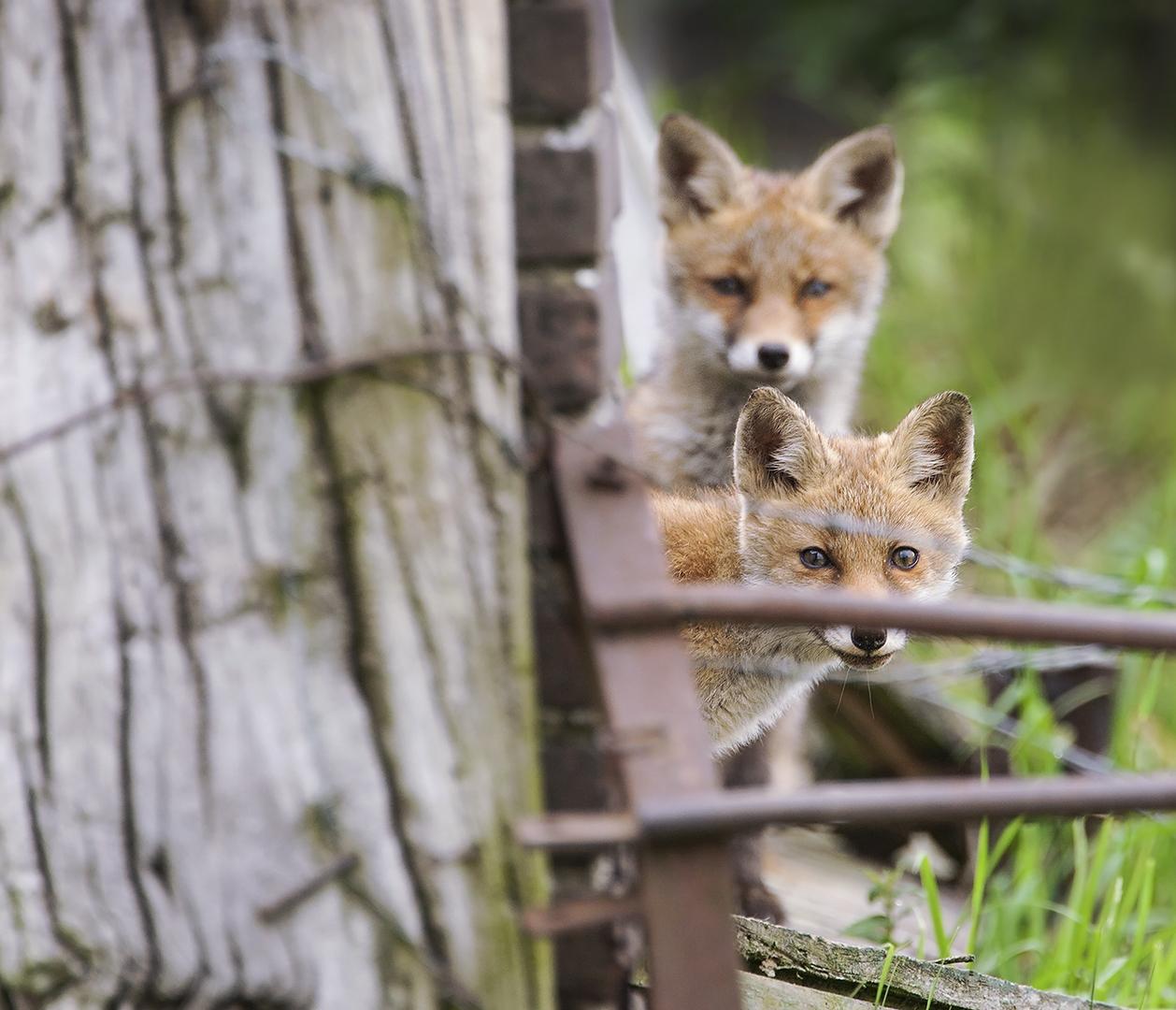 twee jonge vosjes bij varkensschuur