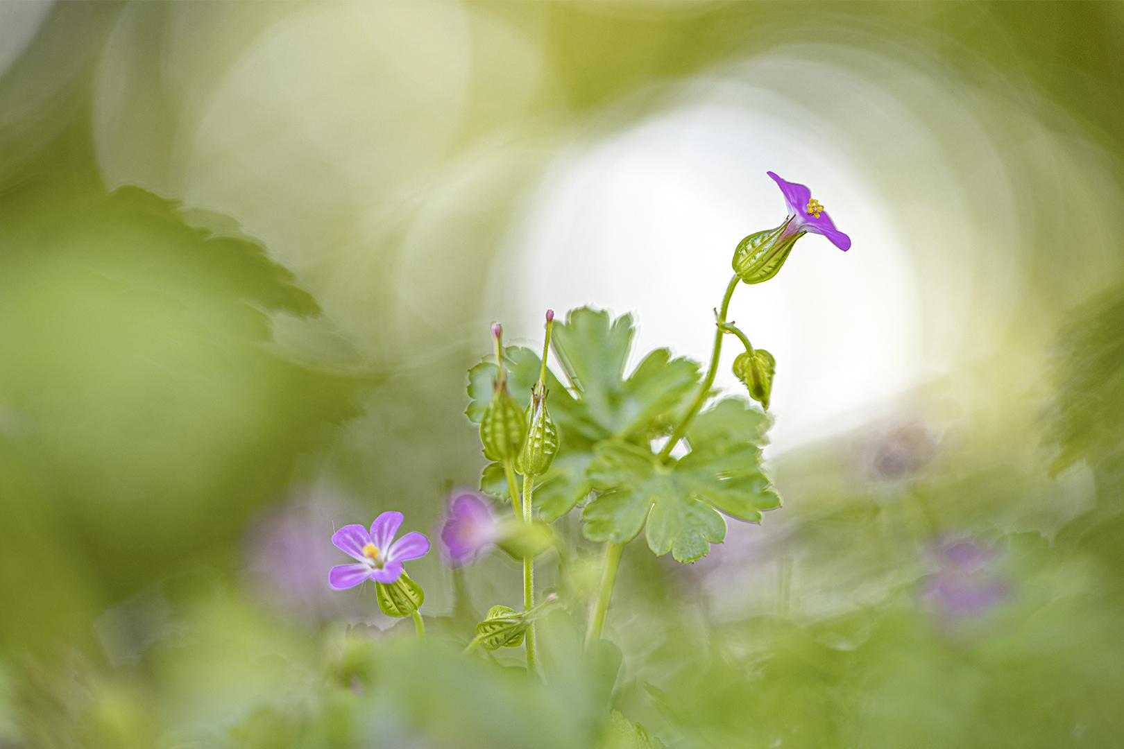 geranium DDN