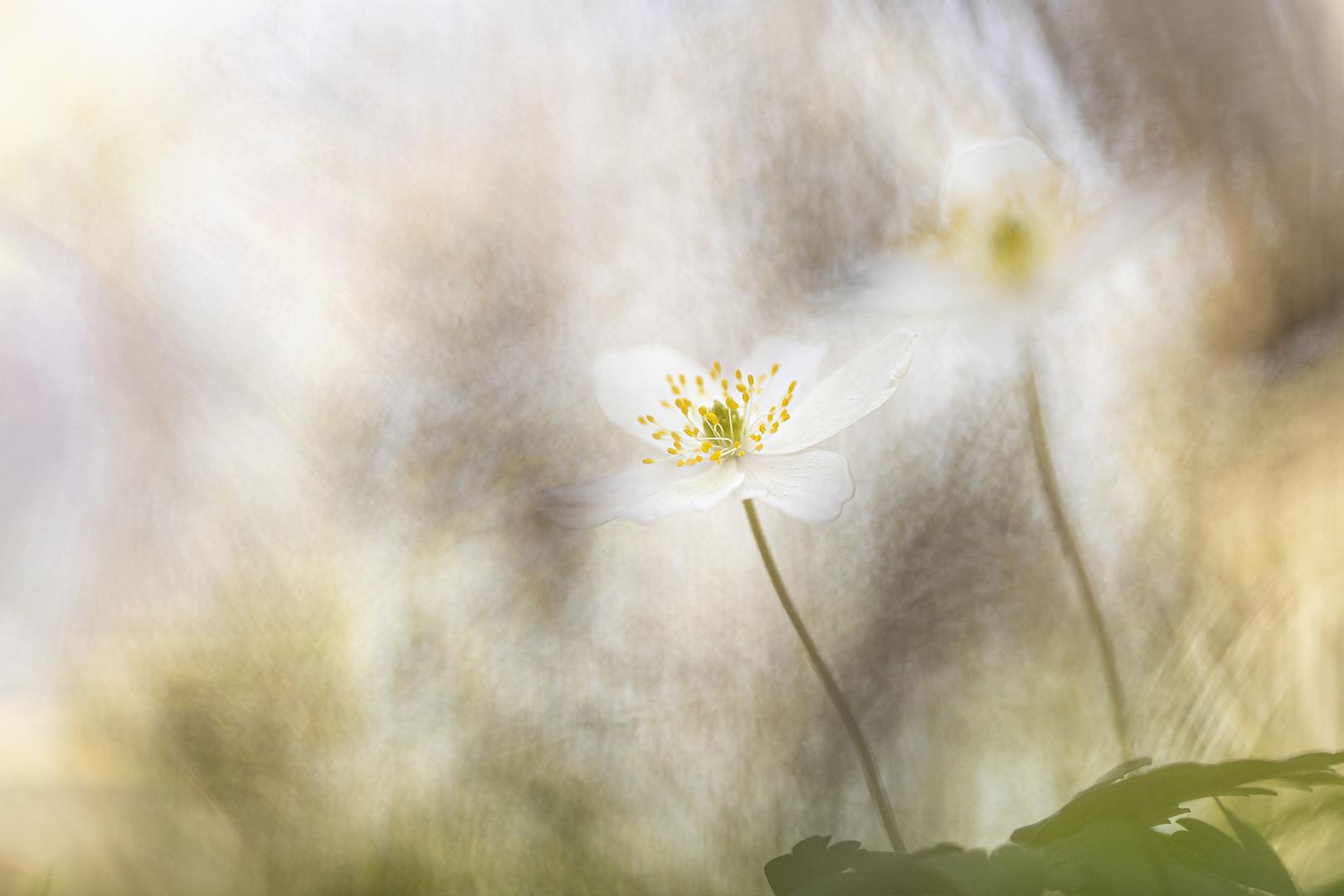 anemonen-blad DDN
