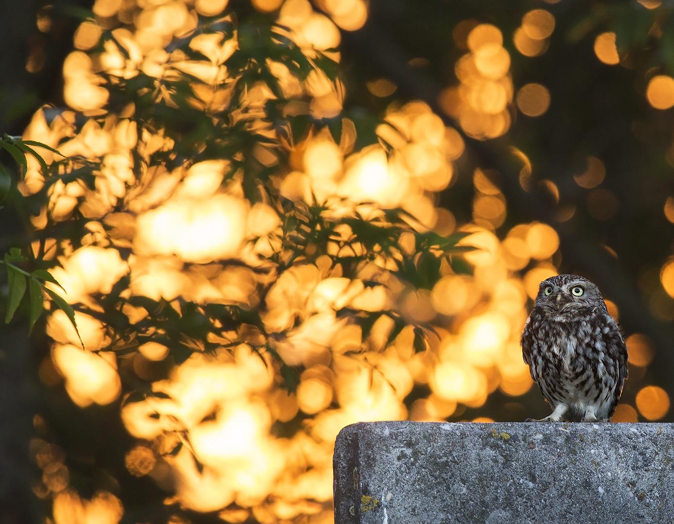 steenuil 01 in eerste ochtendlicht op muurtje met houtwal_uitsnede 2