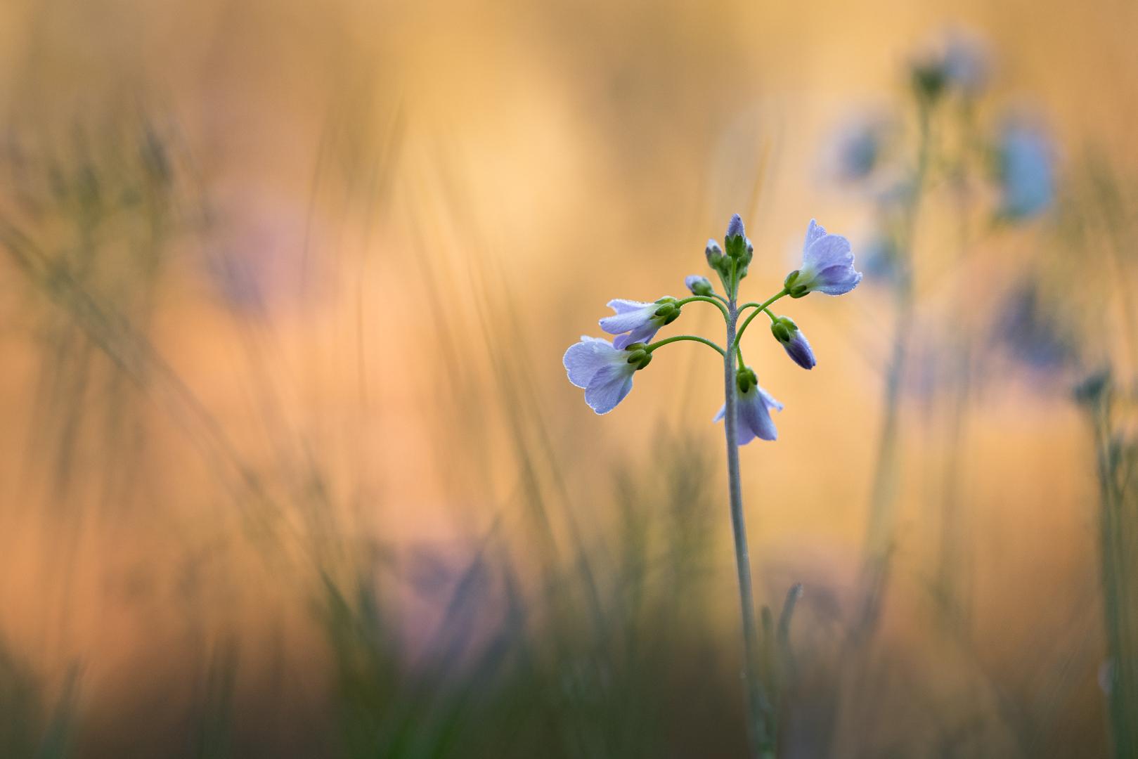 Pinksterbloemen Loes Belovics Deel de Natuur