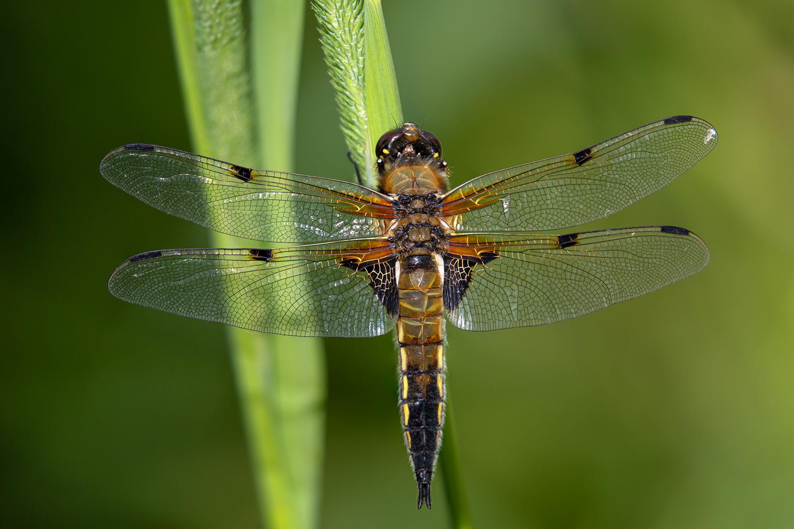 Vleugelscherp