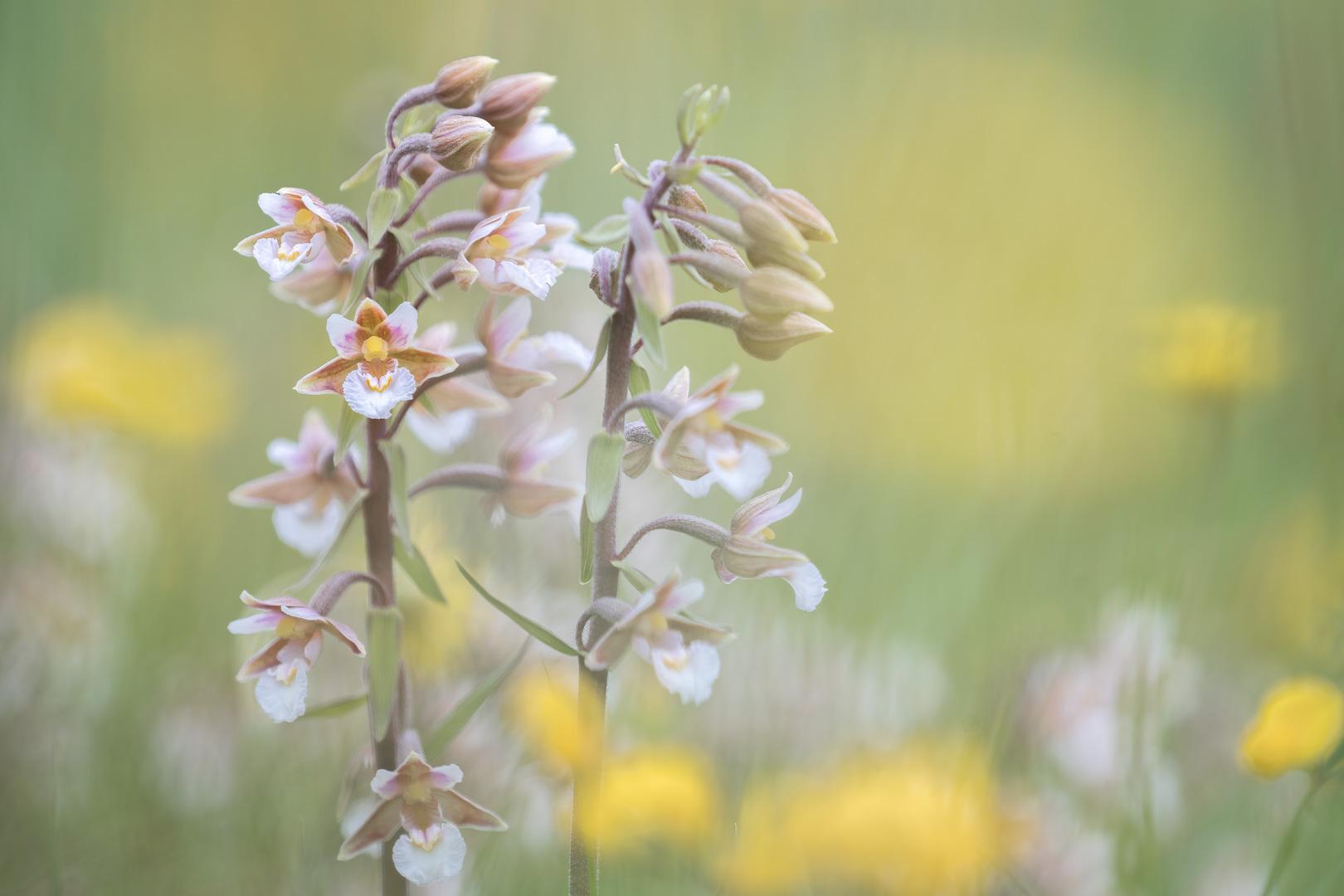 Moeraswespenorchis, Epipactis palustris, Deel de Natuur, Loes Belovics
