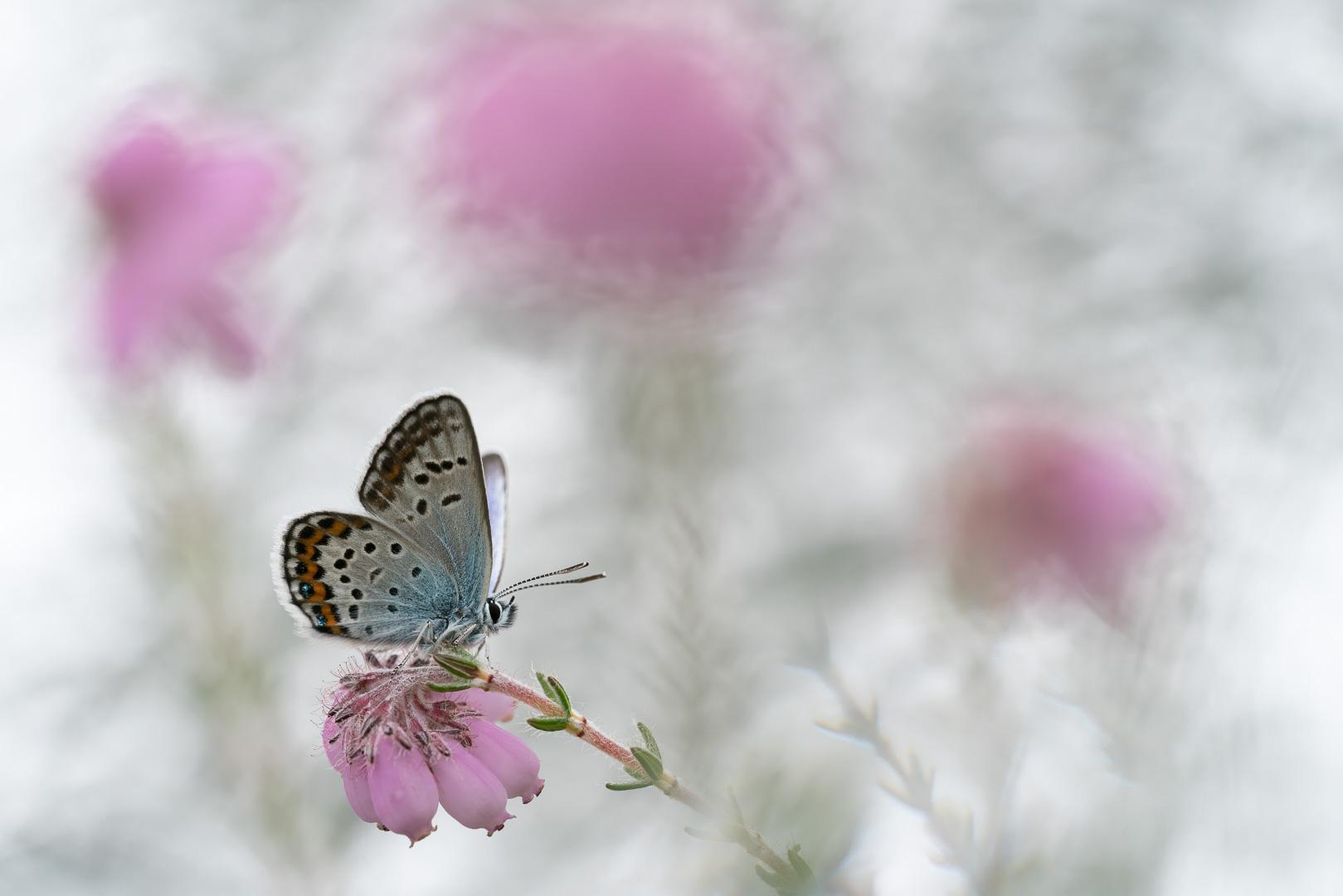 Heideblauwtje, Plebejus argus, Deel de Natuur, Loes Belovics
