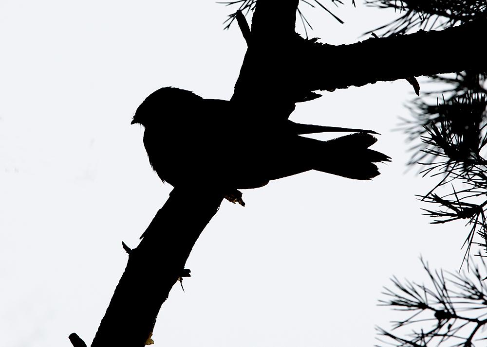 nachtzwaluw202104zoom