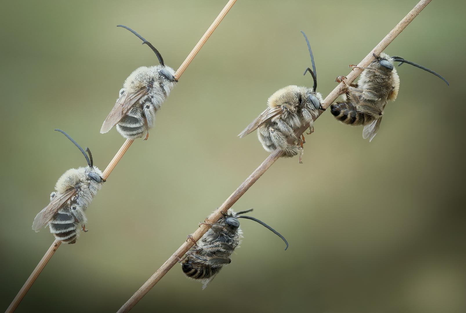 Papaverbijtjes (Osmia Papaveris)