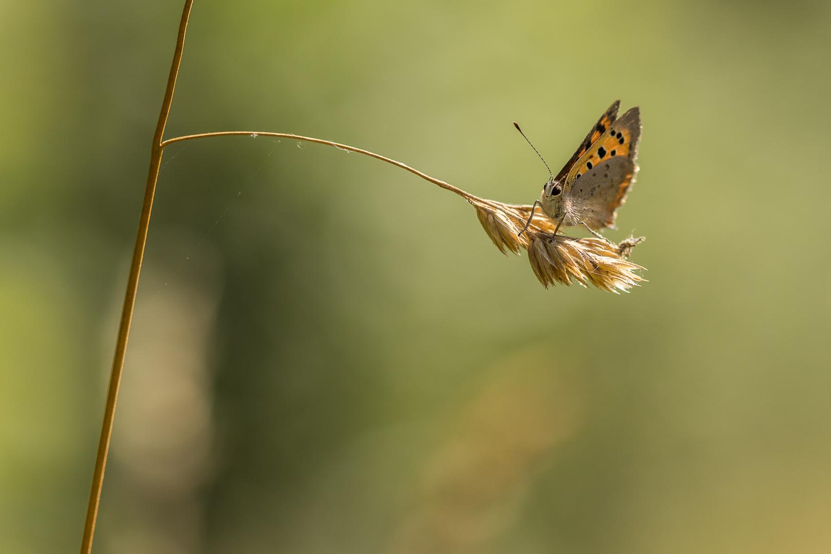 Vuurvlindertje in de natuur