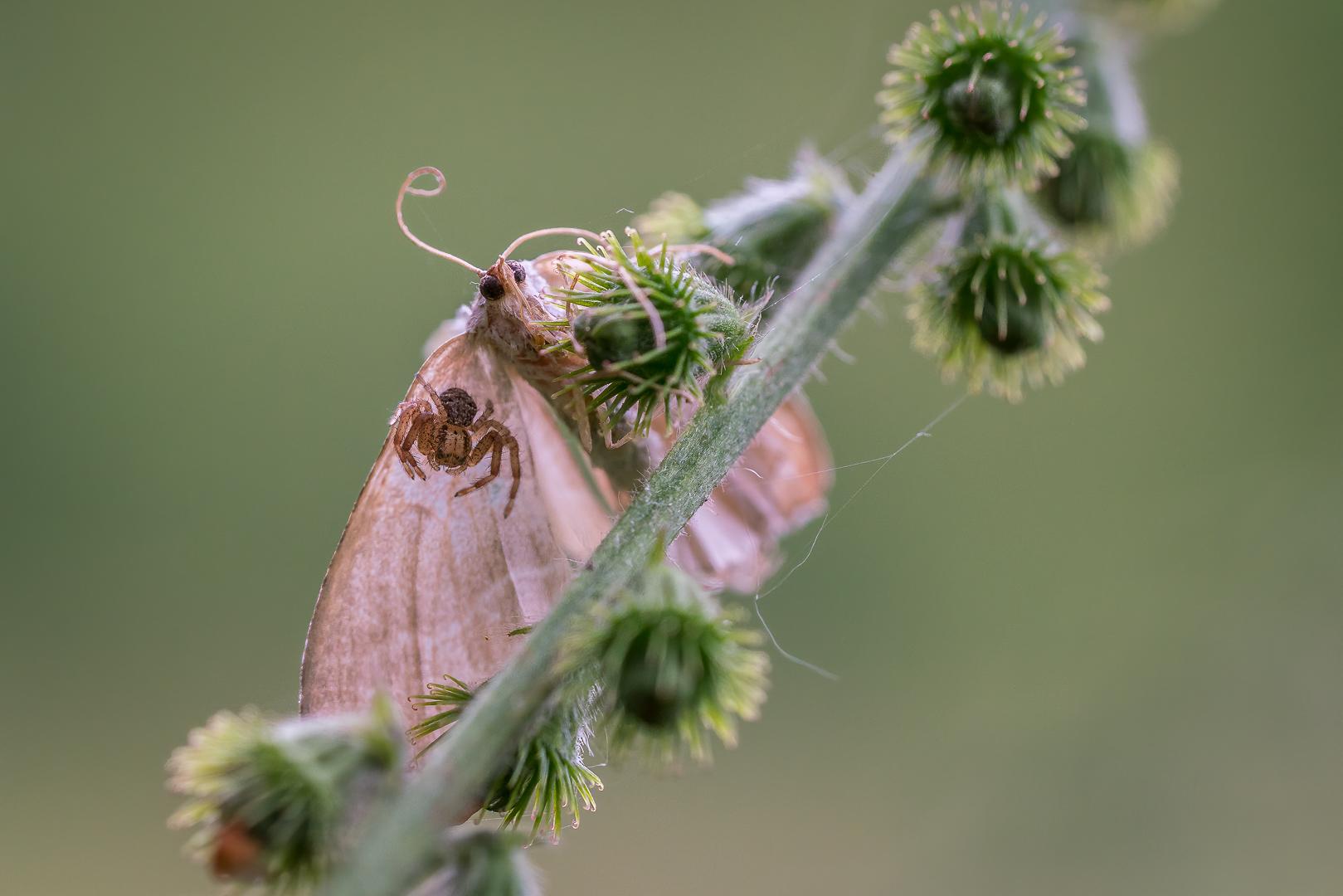 Mantelzorg, spinnetje, kriebelbeestje, Loes Belovics, Deel de Natuur