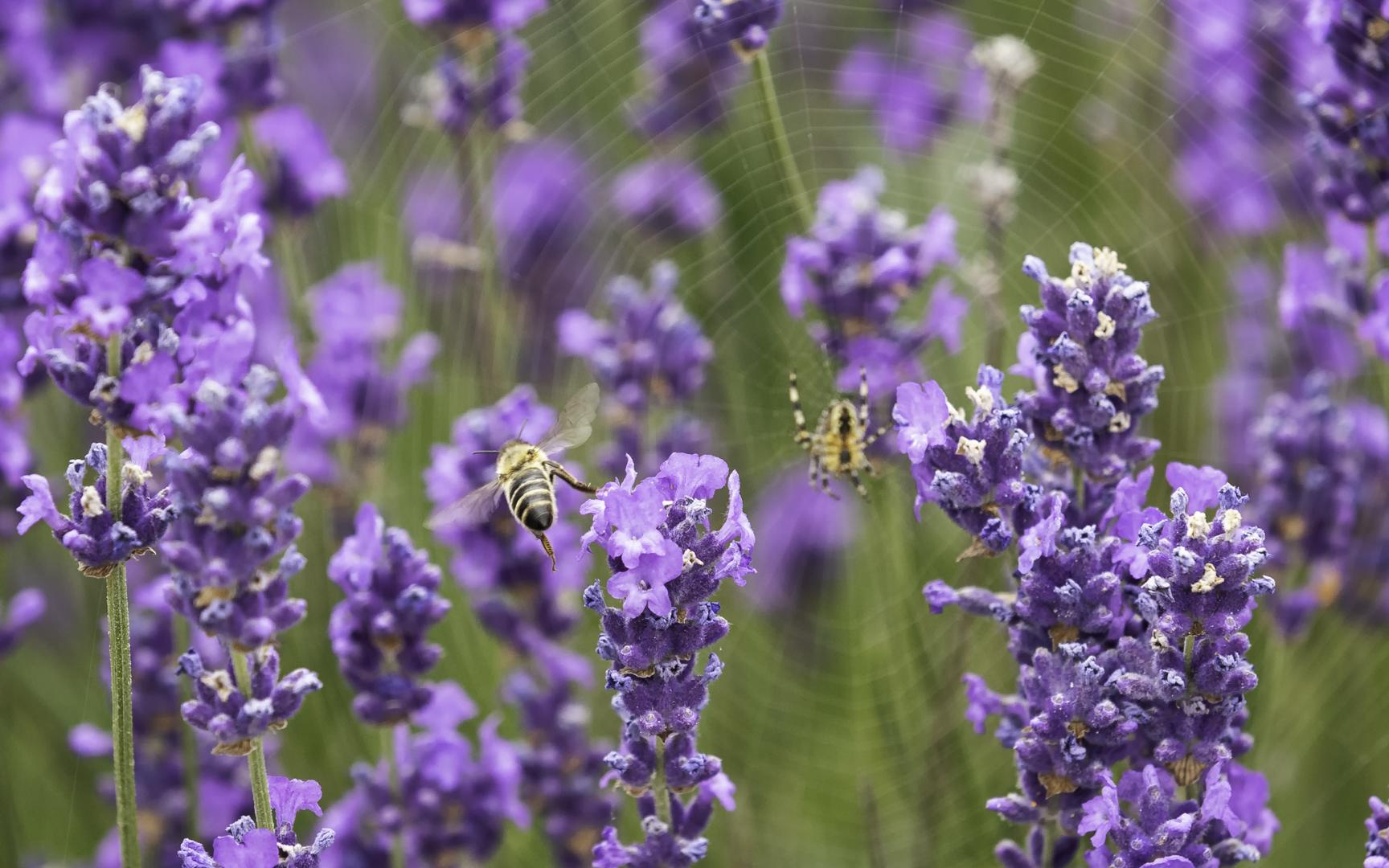 Lavendelhoning