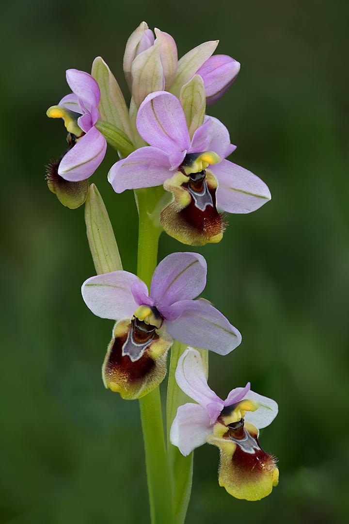 9709-28 Ophrys tenthredinifera 06-04-2017 B_B_V_1080