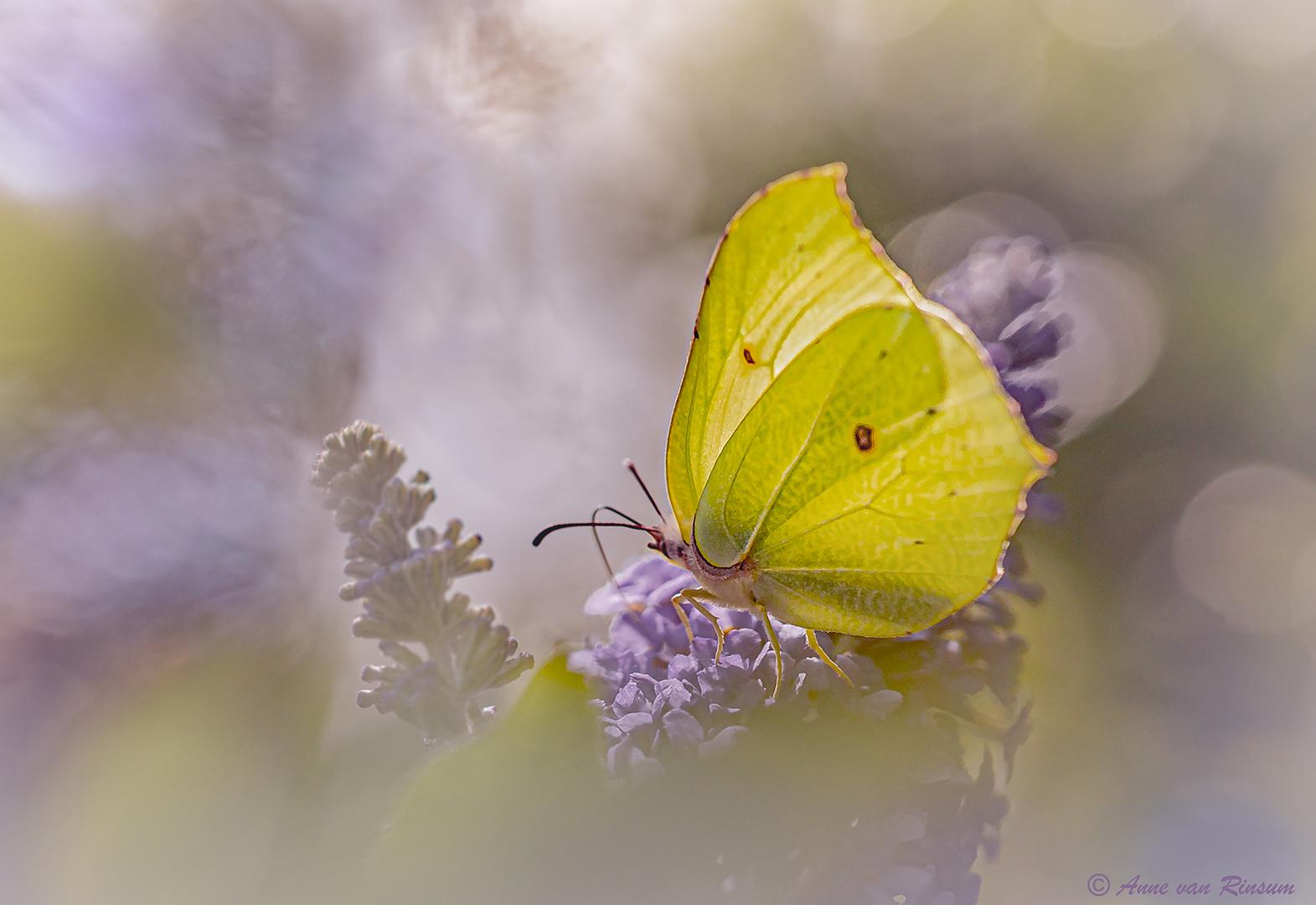 Citoenvlinder