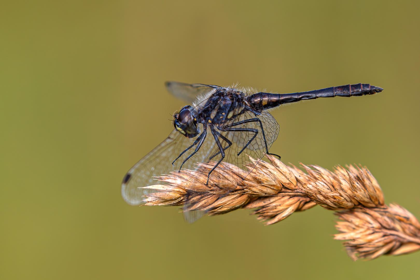Zwarte heidelibel 25-07-2021 B_V_crop_DeNoise_1620