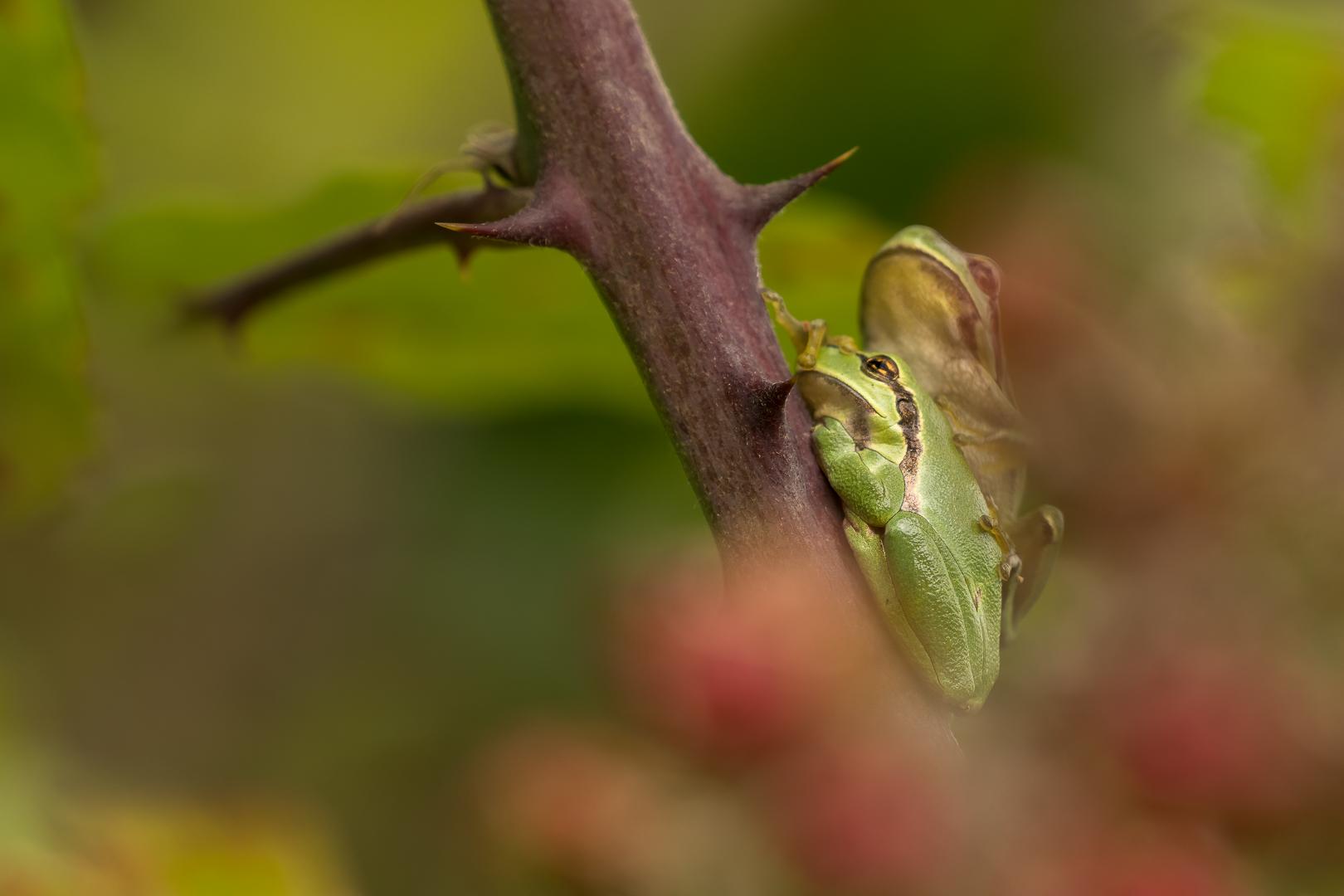 Boomkikker, Hyla arborea, Loes Belovics, Deel de Natuur