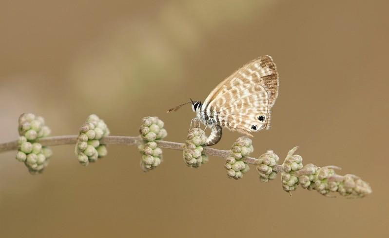 Klein Tijgerblauwtje