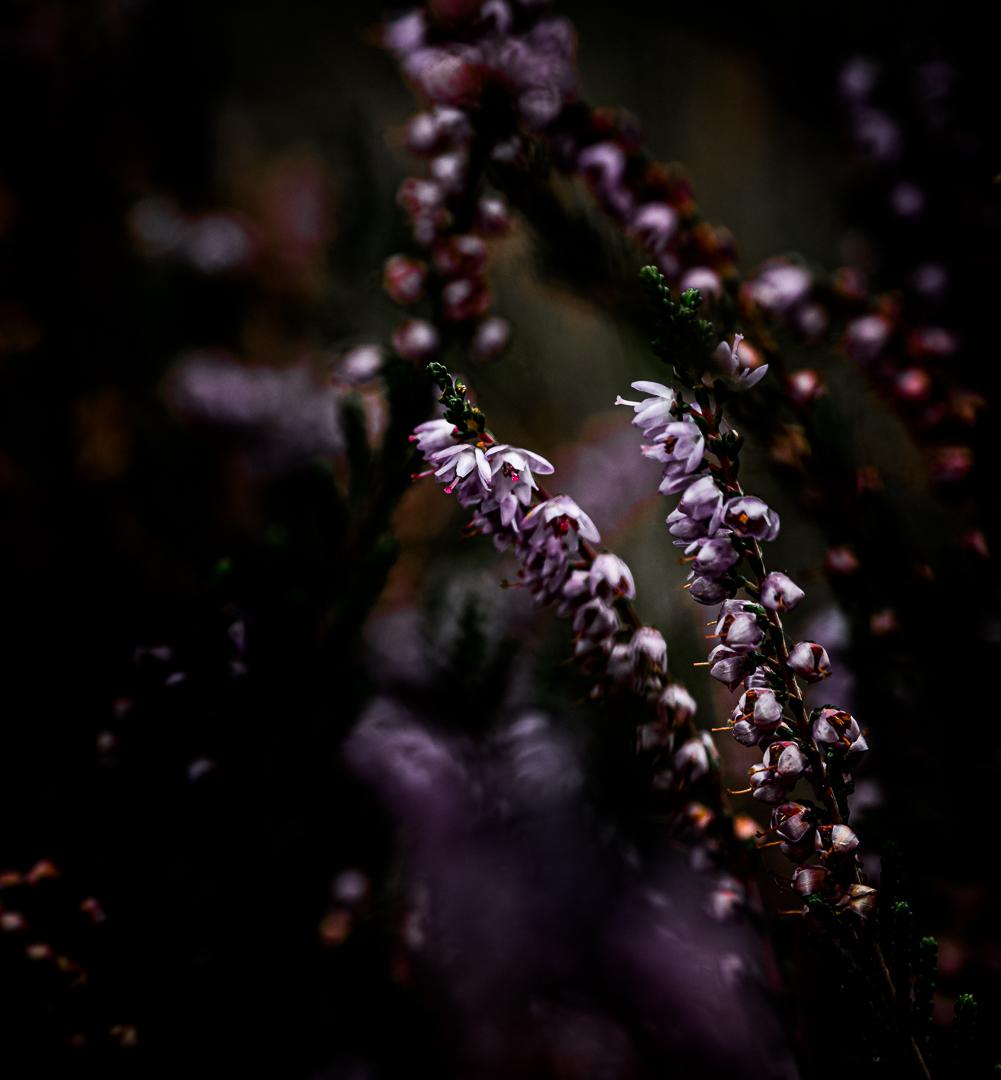 Purple pride in the twilight....