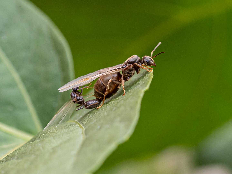 Het seksleven van een mierenkoningin...