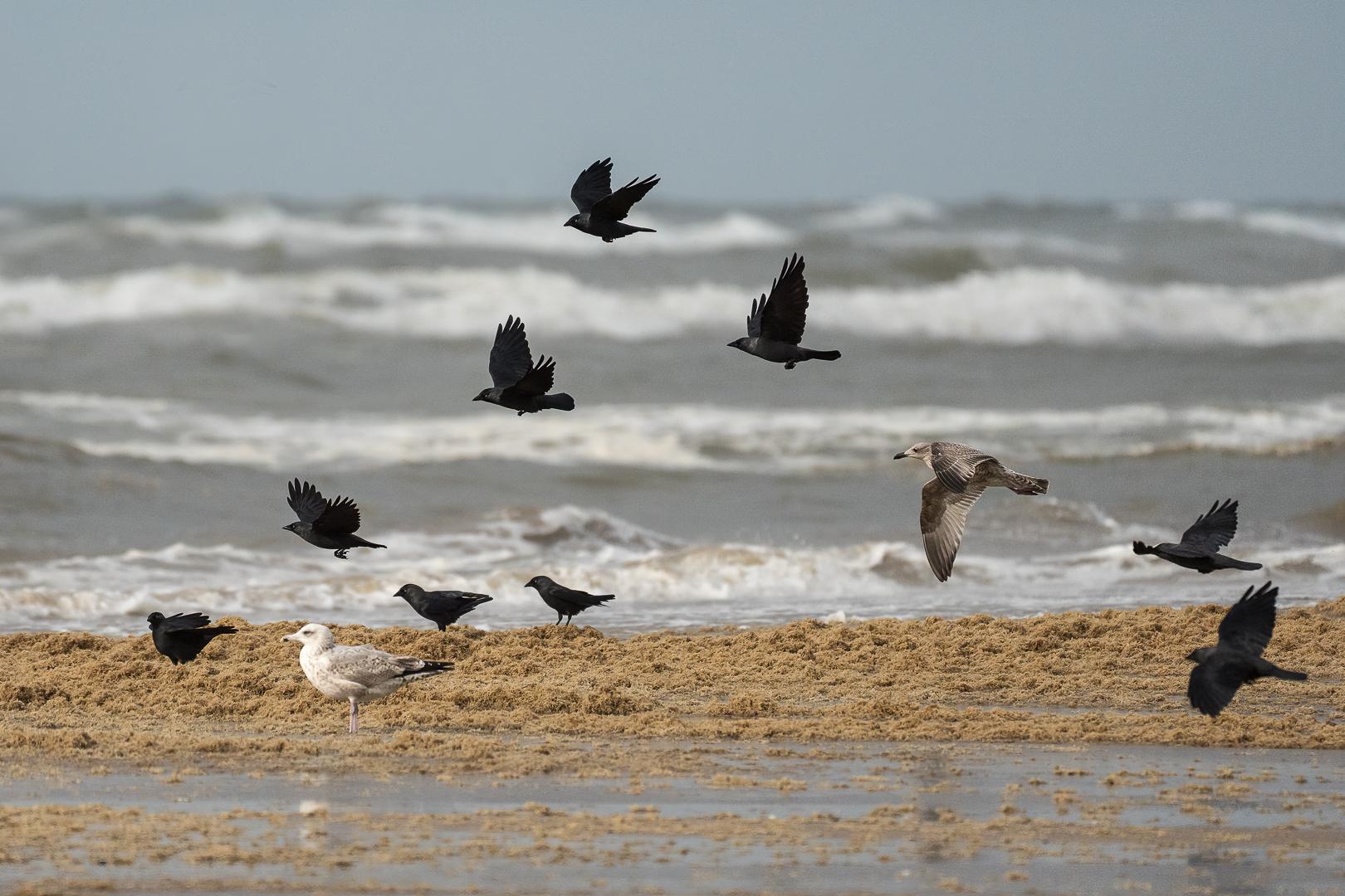 Kauwtjes,Corvus monedula, Del de Natuur, Loes Belovics