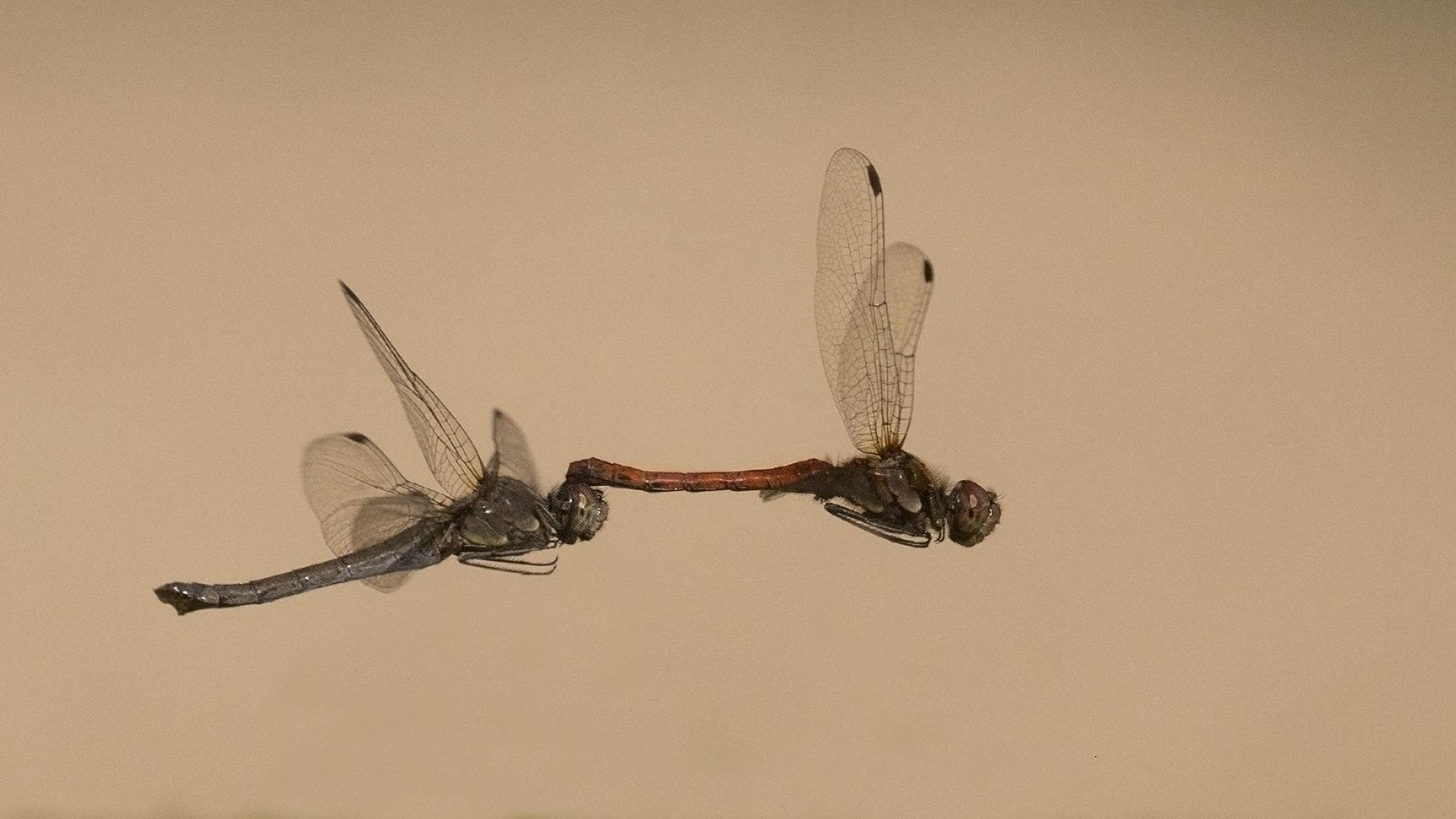 brandrode heidelibel