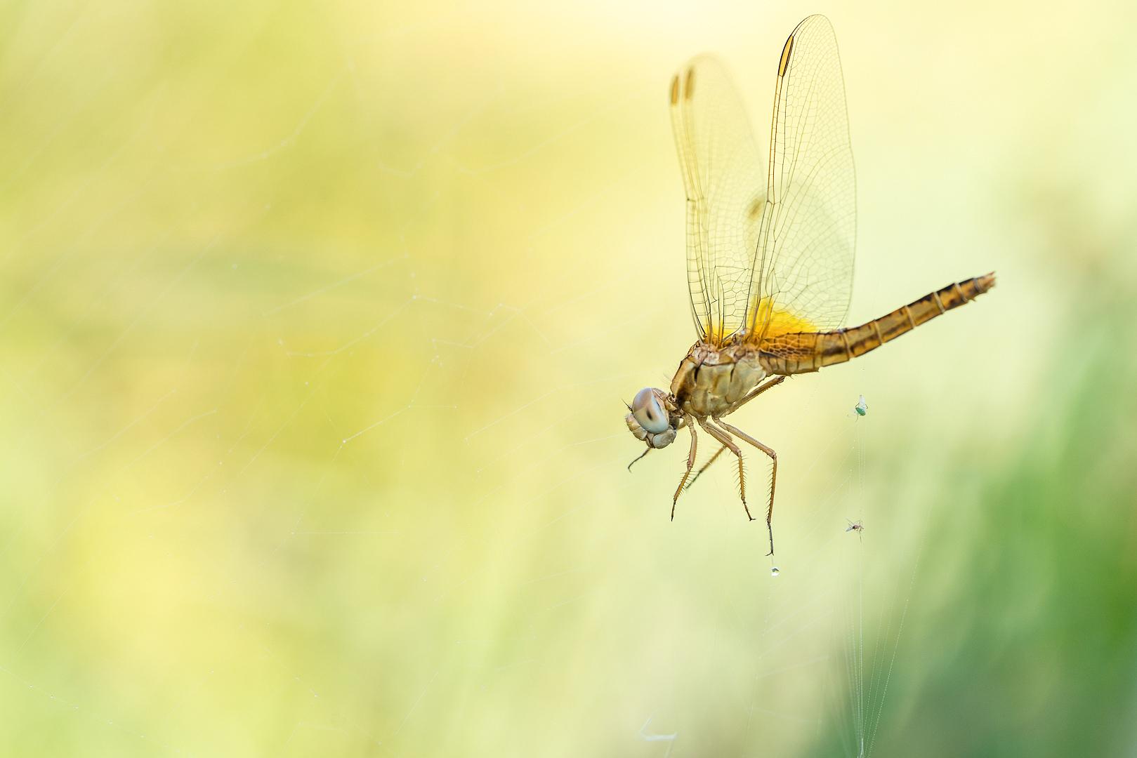 Vuurlibel, spinnenweb, Deel de Natuur, Loes Belovics