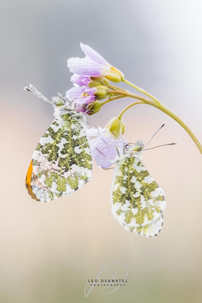 vlinders-10325 L