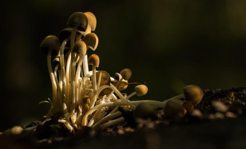 Witsteelfranjehoedjes in het bos