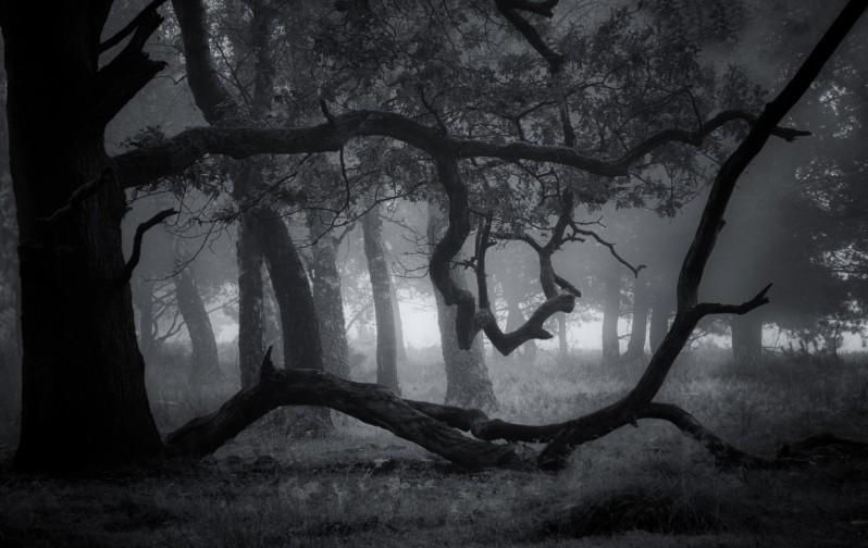 Oude eik in mistig bos...